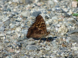 Tawny Emperor greeted us as we drove up in the parking lot at Whittingham. [2015 JUN 29, photo by REB]