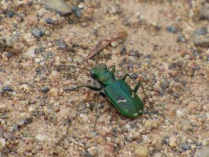 The Cow Path Tiger Beetle, C. purpurea, a green form that looks much different than our Maryland purplish population. [2015 June 6, Sax Zim Bog MN, photo by REB]
