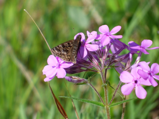 Mottled Duskywing settled in on wild phlox at Crex Ridge [2015 June 1, photo by REB]