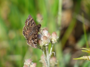 Finally.  Mottled Duskywing, one of two seen on Crex Ridge.  [2015 June 1, photo by REB]