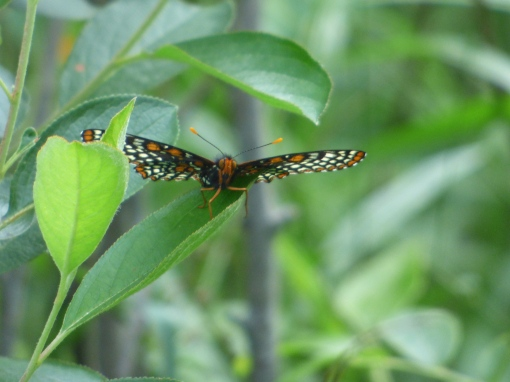 A head-on Baltimore Checkerspot in the upper meadow [2015 June 10, photo by REB]