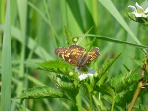 Harris' Checkerspot in the Finzel meadows  [2015 June 10, photo by REB]