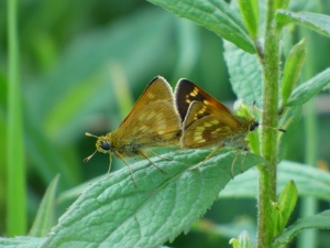 Mating Long Dash Skippers at Finzel Swamp, Allegany Co [2015 June 10, photo by REB]