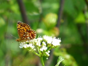 Silver-bordered Fritillary nectaring at swamp-side viburnum [2-15 June 10, photo by REB]