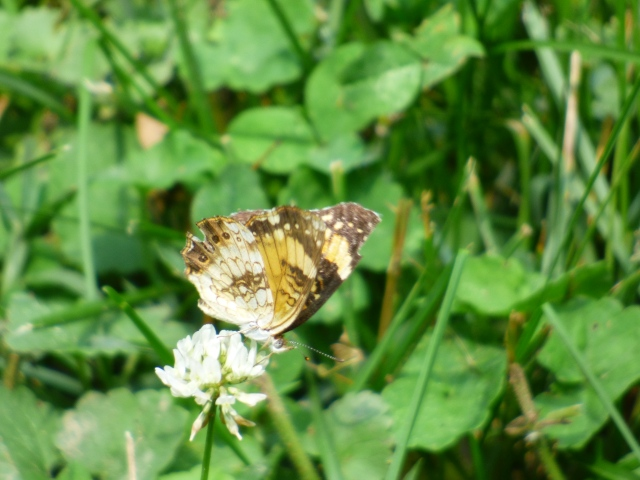 Silvery Checkerspot on white clover along Northeast Branch in College Park [2015 June 11, photo by REB]