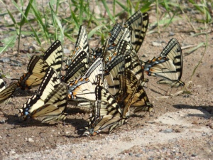 Canadian Swallowtails by the bushel were puddling on newly-wet Sax Zim roads