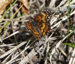 Gorgone Checkerspot, Crex Meadows.  [2015 May 31, Rick Borchelt]