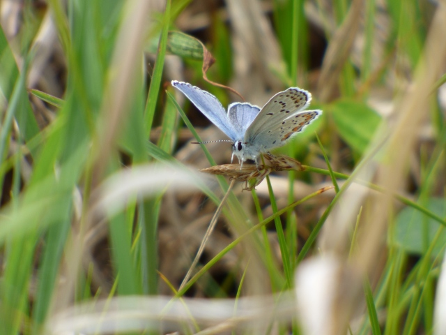 Karner Blue, federally endangered and the top priority on our Crex target list! [2015 May 31, Rick Borchelt]