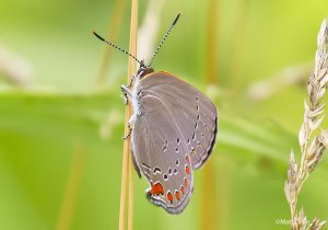 Matt Orsie's Coral Hairstreak find from Cool Spring WV