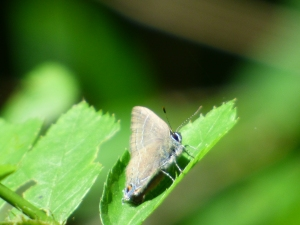 The male Banded Hairstreaks engaged in the unusual behavior of flattening themselves against leaves -- it was quite warm at this point and I doubt they were basking -- before darting out to harass other males.  They literally pressed themselves against the leaves.  [2015 JUN 29, photo by REB]