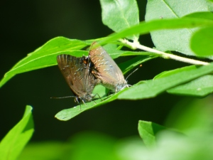 Mating Banded Hairstreaks in a woodside clearing [2015 JUN 29, photo by REB]