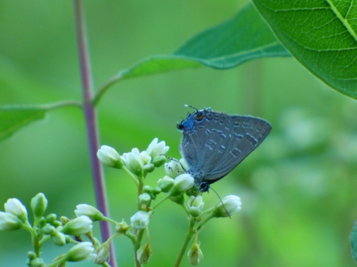 And a farewell to the Hairstreak Corner and our life Hickory Hairstreaks! [2015 JUN 29, photo by REB]