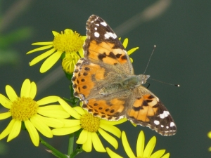 Painted Lady [image courtesy Wikimedia Commons]