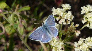 The bright blue wings and black-etched veins of the male Blue Copper are distinctive.