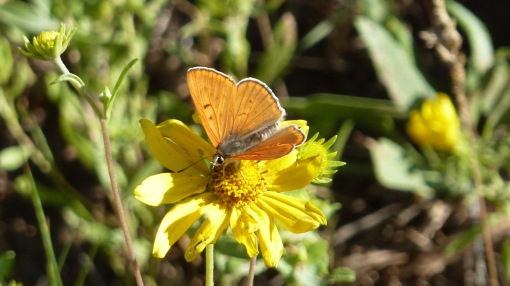 A newly minted male Ruddy Copper [2015 JUL 11, Jeremy Ranch, UT, photo by REB]