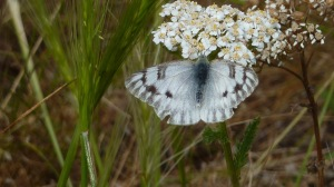 Western White was flying in good numbers in most of the mountain environments I visited in Utah.  The dark charcoal wing margins distinguish if from Checkered White, which was also flying in the same habitats.  And BOTH fool you for a second into thinking they might be parnassians. [2015 JUL 6, Mirror Lake Road UT]
