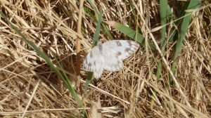 The lighter gray of Checkered White, this one from Antelope Island State Park [2015 JUL 8, photo by REB]
