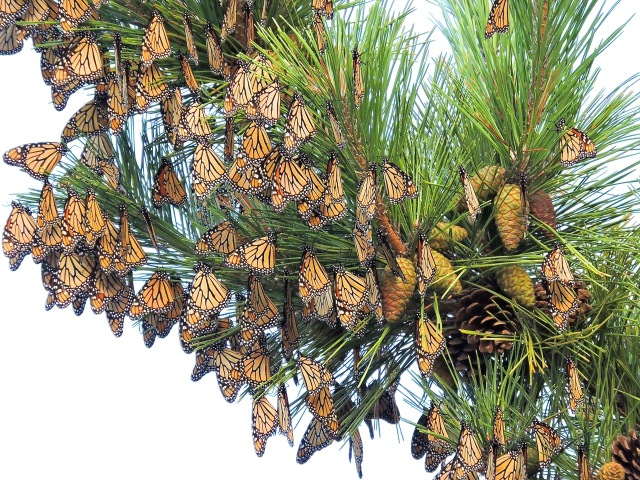 Monarchs in migration at Cape May NJ [courtesy Monarch Monitoring Project of New Jersey Audubon/Cape May Bird Observatory]