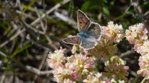 A female Blue Copper, with  just a hint of the blue for which the male is famous [2015 JUL 10, UT-Summit Co, photo by REB]
