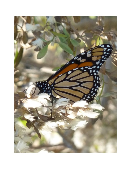Monarch in migration in 2013 at Point Lookout, St. Mary's Co MD [photo by REB]