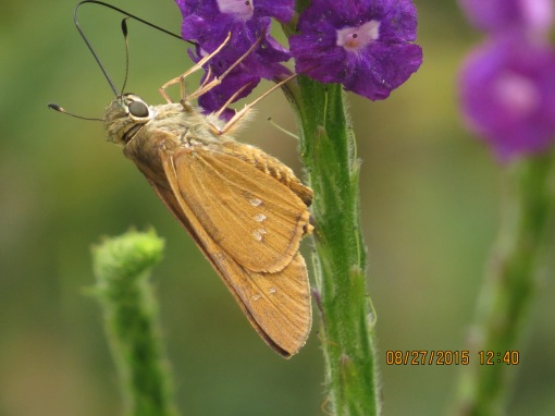Barry Marts & co snapped this Brazilian Skipper this week at the botanic gardens in Norfolk. A harbinger of things to come in the /MDDC region?