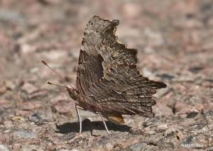 One of Matt Orsie's EIGHT Gray Commas from Big Run SP [2015 SEP 7, MD: Garrett Co]