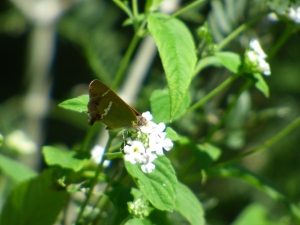 Silver-banded Hairstreaks were surprisingly common, mostly around blooming fiddeltrees.