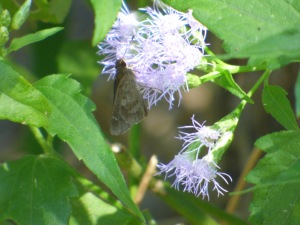 Fawn-spotted skipper was a numerous