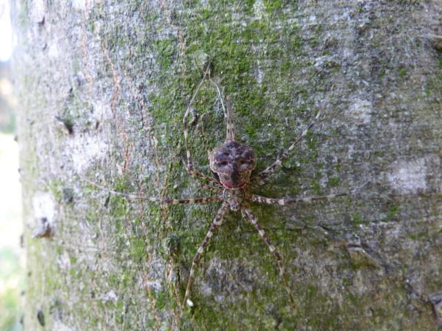Mexican Two-tailed Spider in wait for prey on a tree trunk.