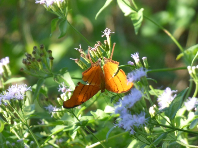 Ruddy Daggerwing, seen off and on all day today at the National Butterfly Center [2015 Nov 2, photo by REB]