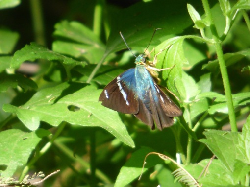 Two-barred Flasher, Astraptes fulgerator, in a shaded patch of crucita on the