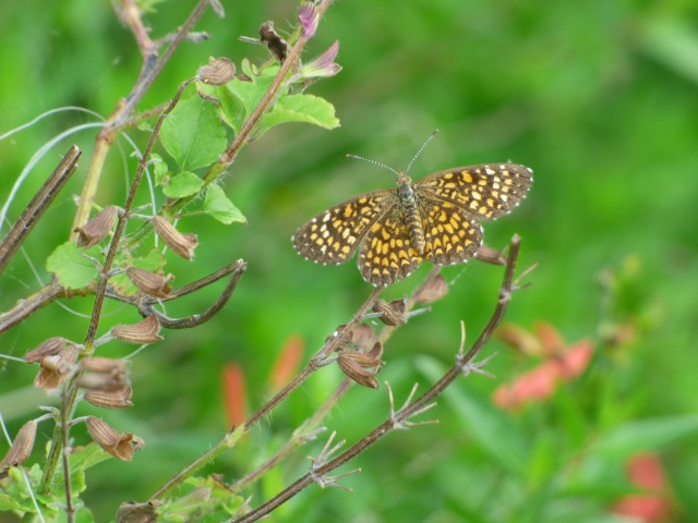 The ultra-tiny Elada Checkerspot, Texola elada, vies with Western Pygmy-blue to be the smallest butterfly on the wing in the Falcon SP butterfly garden.