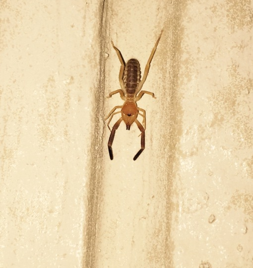 A sun-scorpion, or solpugid, in the beams of my headlamp at Falcon SP [2014 Nov 4, photo by REB]