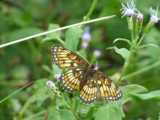Theona Checkerspot, Chlosyne theona, flying in Falcon SP [2015 Nov 4, photo by REB]