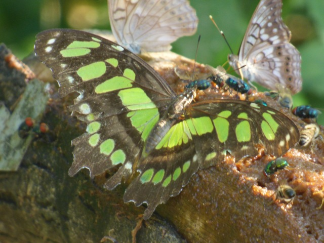 Malachite on bait log [2015 Nov 5, National Butterfly Center, photo by REB]
