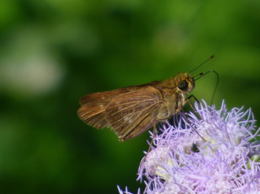 A rather worn Purple-washed Skipper, Panoquina lucas, also making confusion with Ocola Skipper rampant among those of us butterfly watching in the Lower Rio Grande Valley.