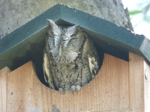 Napping Eastern Screech-owl at the National Butterfly Center [2015 Nov 4, photo by REB]
