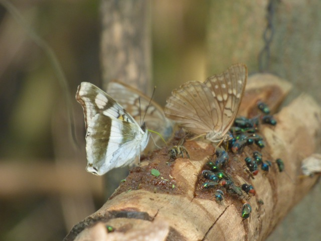 Silver Emperor jostling with Tawny Emperors for a place at the table on a National Butterfly Center bait log [2015 Nov 5, photo by REB]