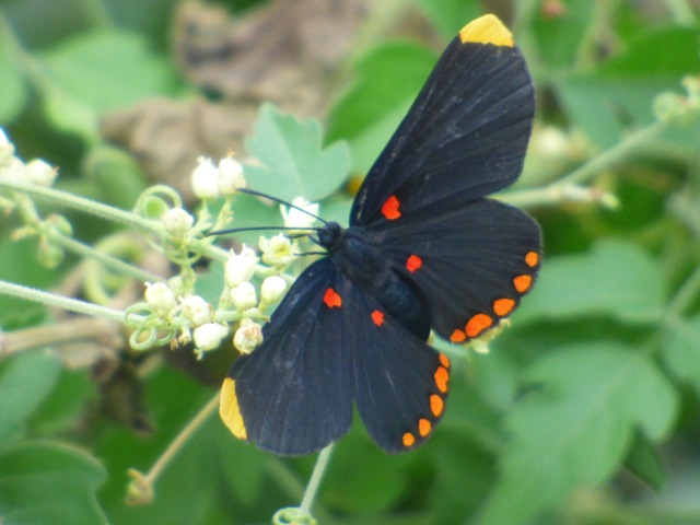2015 Oct 31 Red-bordered Pixie_Melanis pixie