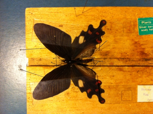 Swallowtails with the wings held down by stackable glass slides