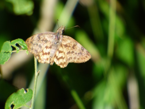 Life butterfly for me, the Brown-banded Skipper, seen briefly but not well enough for a report on Sunday at Cielo Escondido.