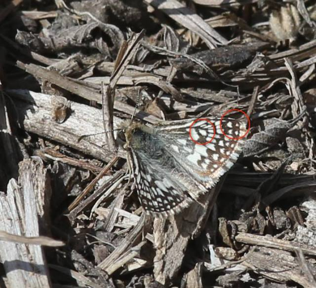 Desert Checkered-skipper showing the white dot at the forewing tip and the large white spot in the middle of the dorsal forewing (both lacking in White Checkered-skipper)
