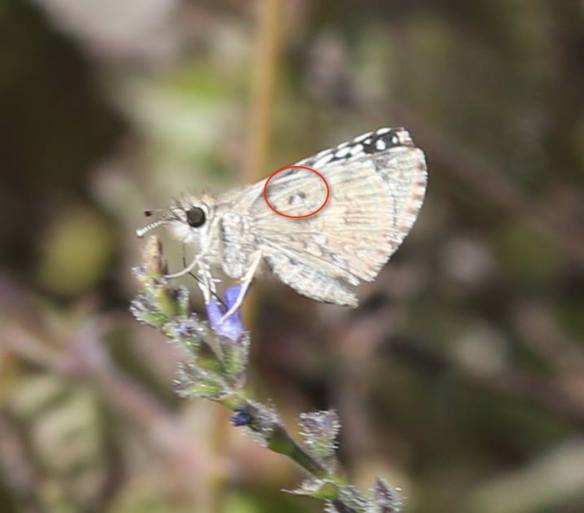 On the underside, Desert Checkered-skipper has these two black dots lacking on White Checkered-skipper.