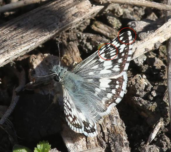 By comparison, these features are lacking on White Checkered-skipper