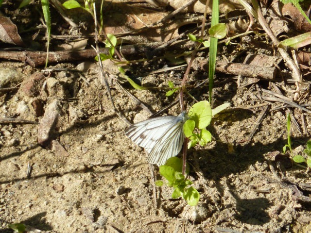 2016 Feb 24 Margined White, rather common at Alum Rock Park in Santa Clara Co CA this spring.