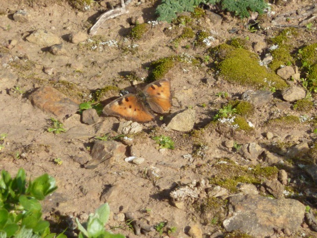 2016 Feb. 23 California Tortoiseshell, one of several seen hilltopping in mid-afternoon at the summit of San Bruno Mountain.