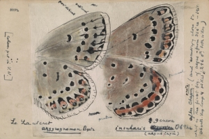 Reproduced by permission of the V. Nabokov Estate/the Henry A. & Albert W. Berg Collection, New York Public Lib. One of Vladimir Nabokov's drawings of the undersurfaces of butterfly wings.