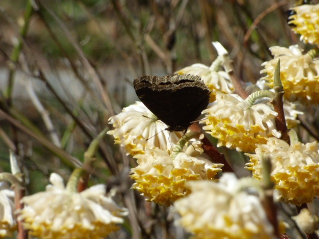 Mourning Cloak in College Park yard, nectaring at horticultural Edgworthia [2016 Mar 17]