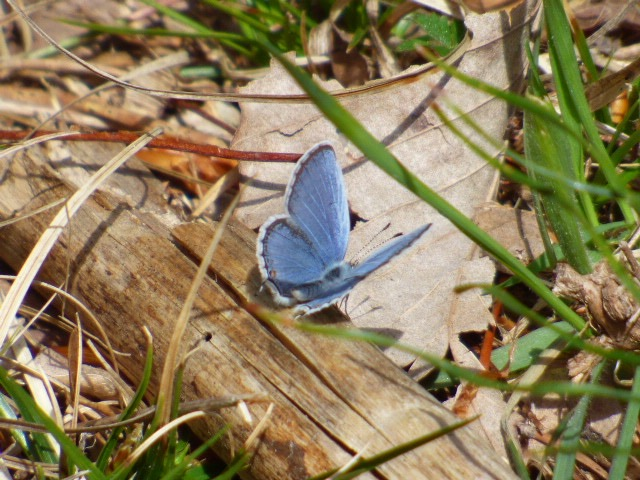 My FOY Eastern Tailed-blues showed up last weekend in Patuxent Wildlife Refuge's North Tract [2016 Aprii 10, MD-Anne Arundel Co. Photo by REB]