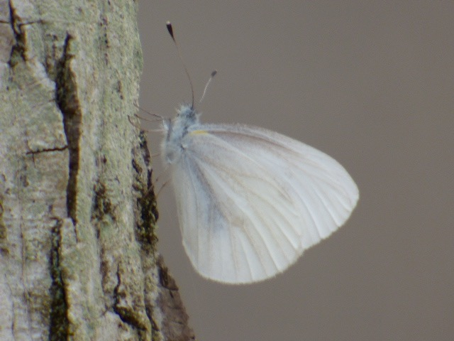 First West VIrginia White asking on a tree along the Yough [2016 Apr 23, photo by REB]